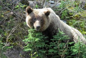 A young grizzly bear in the woods near Prince George