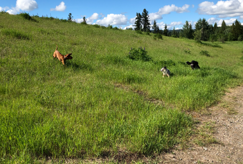 dogs playing on hill