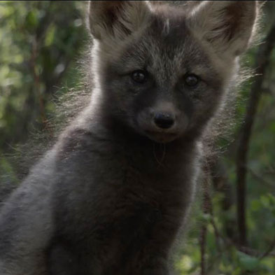 black-fox-pup