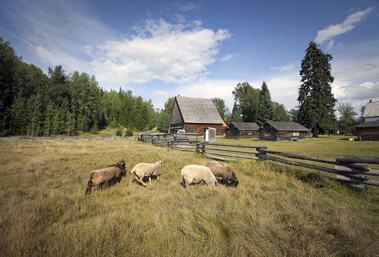 Sheep at Huble Homestead